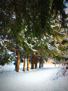 Majestic Snow Covered Pine Trees